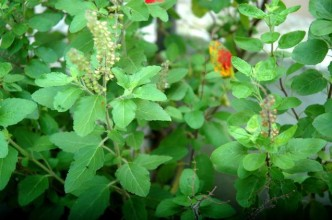 Ayurveda_says_Tulsi_is_truly_terrific_for_you!