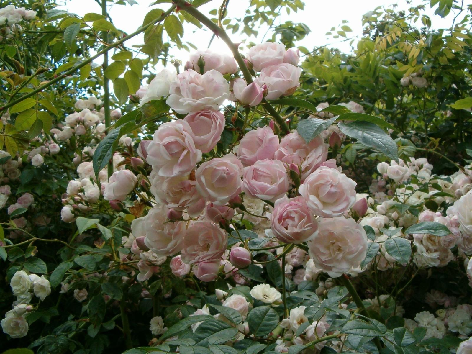 Faire Un Rosier Avec Une Rose vous aimez les rosiers ? quelques conseils et astuces pour