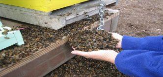 abeilles-mortes-2