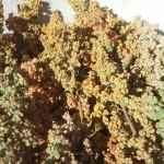 photo quinoa jardin pierrot 2.1