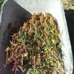 photo quinoa jardin pierrot